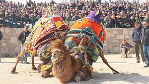 Ayvacık'ta develer güreşti
