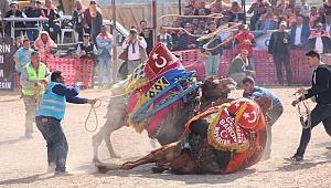 Bayramiç'te deve güreşi heyecanı