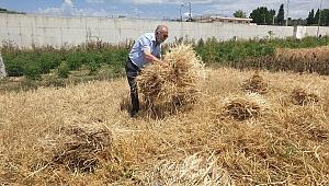 Atalık buğdaylarında ilk hasat