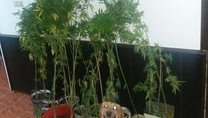 Biga'da yasadışı kenevir ekimi !