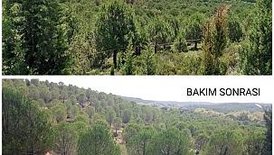 Karabiga ormanlarında genç meşçere bakımları devam ediyor