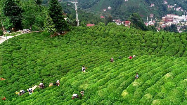 Türkiye'den 105 ülkeye 12 milyon 182 bin 162 dolarlık çay