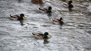 Çoruh Nehrini mesken tutan yeşilbaşlı ördekler unutulmadı