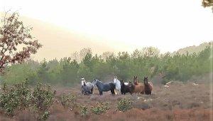 Orman görevlisi denetimde karşısına çıkan yabani atları ölümsüzleştirdi