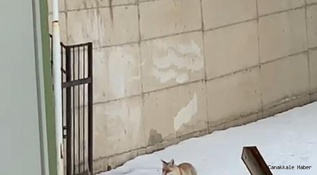 Pandemi nedeniyle kapalı olan okulun bahçesine gelen tilki kamerada