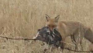 Tavuk çalan hırsız tilki, böyle görüntülendi
