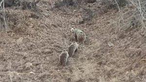 Kar yağmayınca onları da uyku tutmadı, anne ve 2 yavru boz ayı görüntülendi
