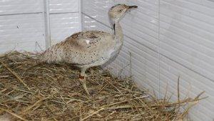 Kırmızı listedeki yaralı yakalı toy kuşu tedavi altına alındı