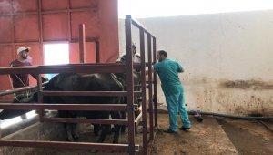 Mandalarda Suni Tohumlama Uygulamasının Yaygınlaştırılması Projesi başladı