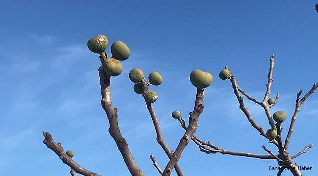 Meyve veren incir ağacı şaşırttı