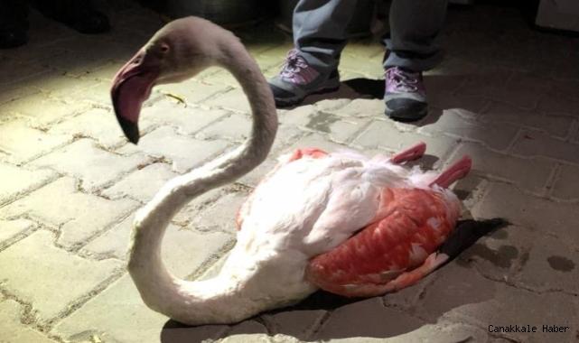 Yorgun düşen flamingo tedavi altına alındı
